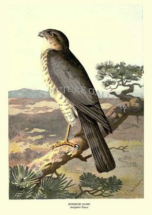 SPARROW HAWK - Accipiter Nisus